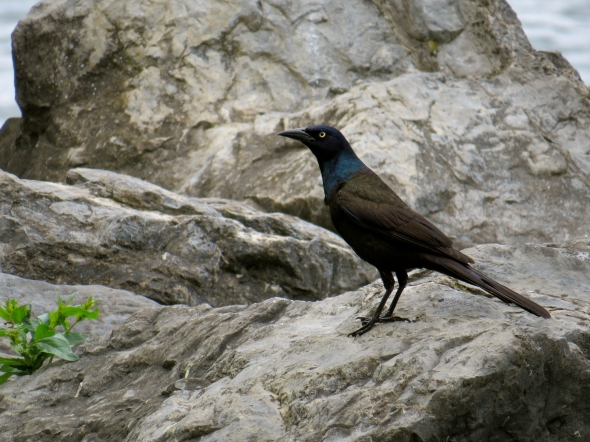grackleday